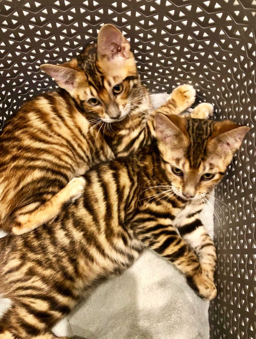Toygers For Sale - URBAN EXOTIC CATS