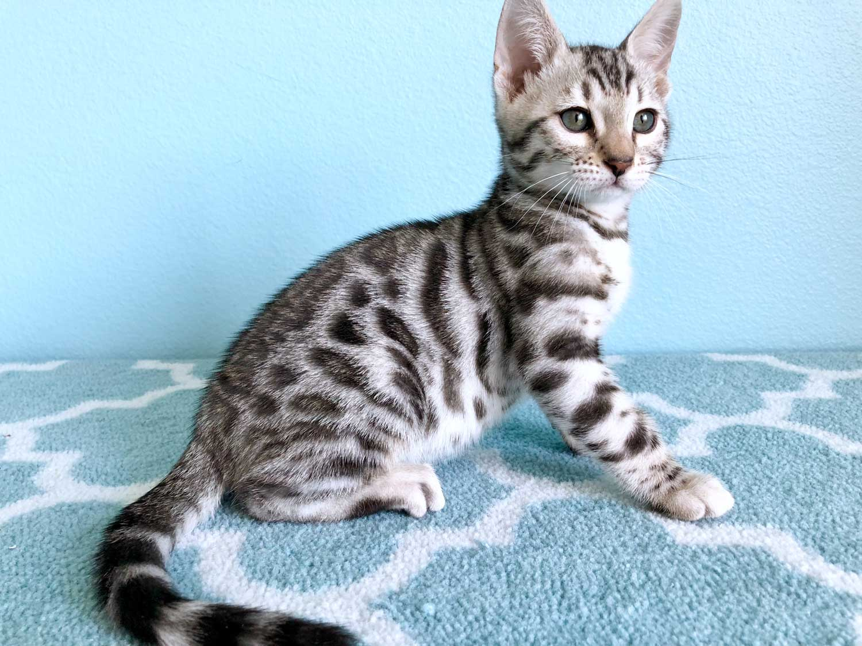 Bengal Cat Lost Bengal Cat Wdef